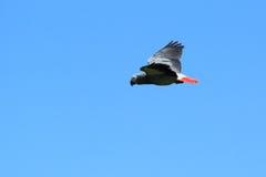 afrykańskiego grey papuga Obraz Royalty Free