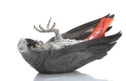 afrykańskiego grey papuga Fotografia Royalty Free