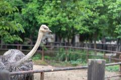 Afryka Struthio camelus Obrazy Stock