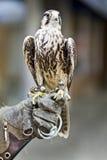 Afryka Tawny Eagle fotografia royalty free