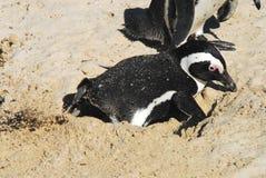 Afryka zakończenie Up pingwin Kopie gniazdeczko Zdjęcia Royalty Free