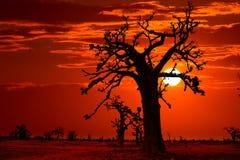 Afryka zmierzch w baobabów drzewach kolorowych Fotografia Stock