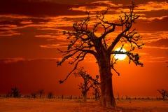 Afryka zmierzch w baobabów drzewach kolorowych Fotografia Royalty Free