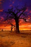 Afryka zmierzch w baobabów drzewach kolorowych Obrazy Stock