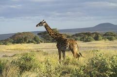 Afryka, zoologia Obrazy Royalty Free