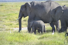 Afryka, zoologia Obraz Royalty Free