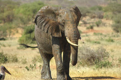 Afryka, zoologia Fotografia Royalty Free