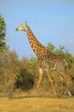 Afryka, zoologia Zdjęcia Royalty Free