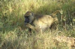 Afryka, zoologia Obraz Stock