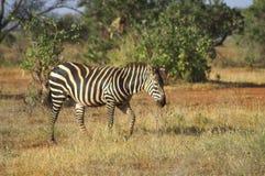 Afryka, zoologia Zdjęcie Royalty Free