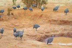 Afryka, zoologia Zdjęcie Stock
