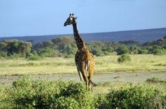 Afryka, zoologia, żyrafa Zdjęcia Stock