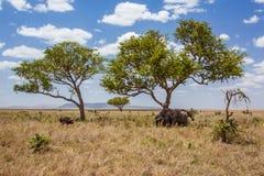 Afrykanów krajobrazowi słonie ochraniają przeciw Obrazy Royalty Free