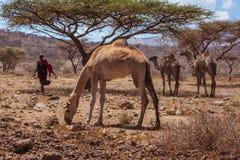 Afrykanów krajobrazowi wielbłądy i baca Obraz Royalty Free