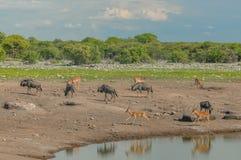 Afrykanów krajobrazy - Ethosa park narodowy Namibia Zdjęcia Stock
