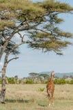Afrykanów krajobrazy - Serengeti park narodowy Tanzania Zdjęcia Royalty Free