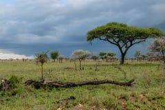 Afrykanów krajobrazy - Serengeti park narodowy Tanzania Zdjęcie Royalty Free