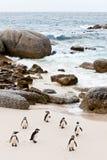 afrykanów pingwiny plażowi czarny Zdjęcia Stock