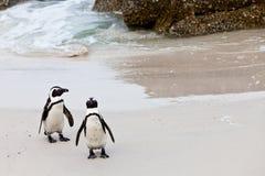afrykanów pingwiny plażowi czarny Obraz Royalty Free