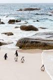 afrykanów pingwiny plażowi czarny Zdjęcia Royalty Free