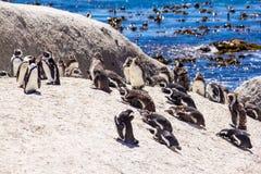afrykanów plażowi pingwiny Obraz Stock