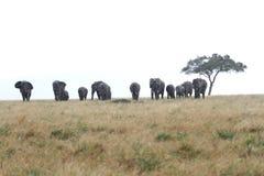 Afrykanów słonie blisko Akacjowego drzewa w deszczu Zdjęcia Royalty Free