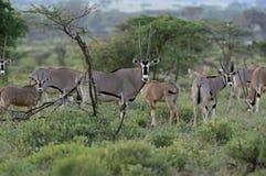 afrykanie dezerterują gazella życia oryx Obrazy Royalty Free