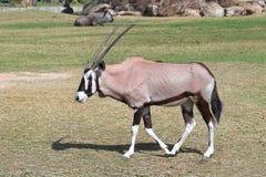 afrykanie dezerterują gazella życia oryx Zdjęcia Royalty Free