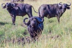 Afrykanin & x28; Cape& x29; Bizon - Obramiający Obrazy Royalty Free