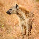Afrykanin Dostrzegał hieny na południu - afrykański safari obrazy stock