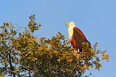 Afrykanin Eagle, Haliaeetus vocifer, brown ptak z biel głową Eagle obsiadanie na drzewnym wierzchołku, niebieskie niebo w tle  Fotografia Stock