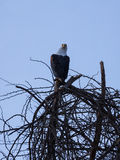 Afrykanin Eagle obraca swój głowę Fotografia Royalty Free