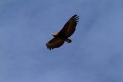 Afrykanin Eagle w locie Obrazy Royalty Free