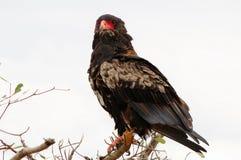 Afrykanin Eagle w Południowa Afryka Zdjęcie Stock