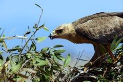 Afrykanin Eagle w sawannie Fotografia Royalty Free