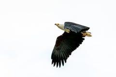 Afrykanin Eagle w w połowie locie Zdjęcie Royalty Free