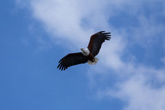Afrykanin Eagle wznosi się w górę wysokości Zdjęcia Royalty Free