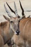 Afrykanin Eland Zdjęcie Stock