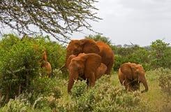 afrykanin elefant Zdjęcia Royalty Free