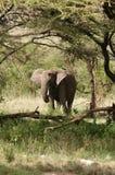 afrykanin elefant Fotografia Royalty Free