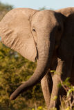 Afrykanin Elepahnt Obrazy Stock