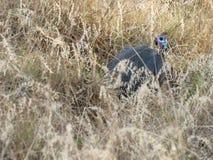 Afrykanin Guineafowl Obraz Royalty Free