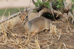 Afrykanin Hartebeest Zdjęcie Stock