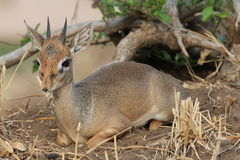 Afrykanin Hartebeest Zdjęcia Stock