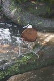 Afrykanin Jacana, Actophilornis africanus - Obraz Royalty Free