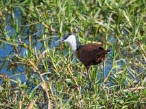 Afrykanin Jacana lub Actophilornis Africanus odprowadzenie przez bagiennego trawa terenu w Moremi parku narodowym, Botswana, Afry Obrazy Royalty Free