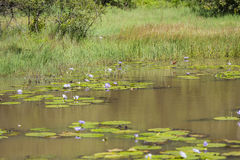 Afrykanin Jacana W jeziorze w Karura lesie, Nairobia, Kenja Zdjęcie Royalty Free