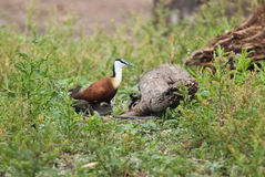 Afrykanin Jacana w trawie Zdjęcia Stock