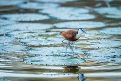 Afrykanin Jacanaon woda w Kruger Obrazy Royalty Free