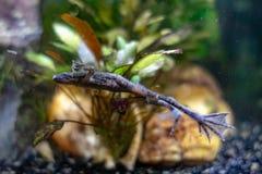 Afrykanin Karłowata żaba Pływać wokoło akwarium fotografia royalty free